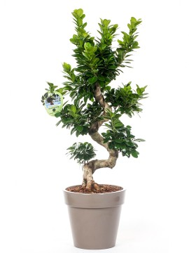 "FICUS BONSAI ""S"" SHAPE 70/80 ZEUS"