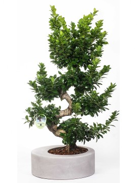 "FICUS BONSAI ""S"" SHAPE 100 ZOE"