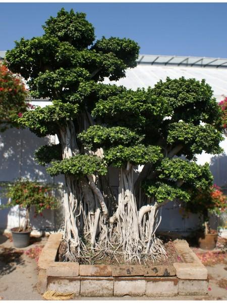 Piante tropicali da interno ed esterno paganopiante for Bonsai da esterno