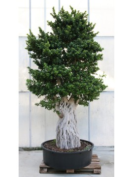 BONSAI FICUS MULTIROOT H. 330/340
