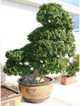 BONSAI FICUS MULTIROOT SPIDER H. 280