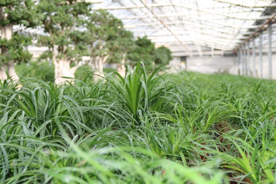 Paganopiante azienda floricola di produzione e distribuzione di bonsai piante tropicali da - Piante tropicali da esterno ...