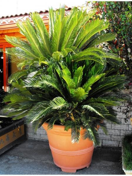 Piante tropicali da interno ed esterno paganopiante for Piante ornamentali da vaso per esterno