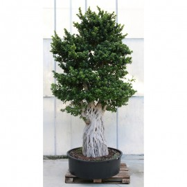 Bonsai Ficus Microcarpa Multiroot