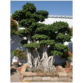 Paganopiante produzione e distribuzione bonsai vendita for Vendita on line piante ornamentali da giardino