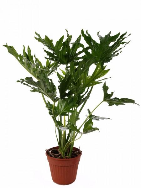 Piante tropicali da interno ed esterno paganopiante - Piante verdi interno ...