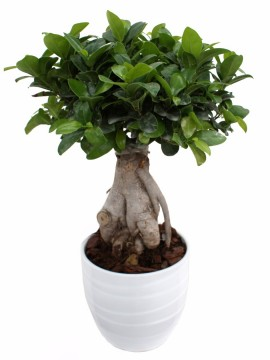 BONSAI F. GINSENG 500 GR. IN BARLETTA D.16