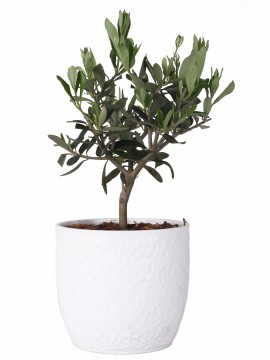 BONSAI OLIVO IN VASO BOSTON D. 13