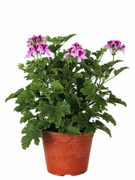 Piante fiorite da esterno perfect pianta perenne phlox - Geranio odoroso ...