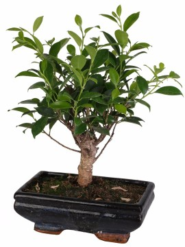 BONSAI FICUS RETUSA D. 20 ball