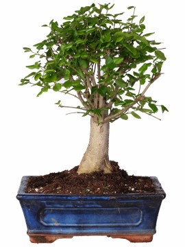 BONSAI LIGUSTRUM DIAMETRO 20