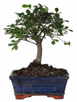 "BONSAI ULMUS ""ZELKOVA"" DIAMETRO 15"