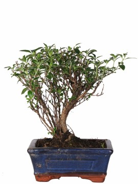 BONSAI SERISSA GOLD DIAMETRO 15