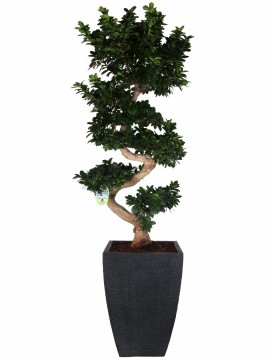 "BONSAI FICUS G. ""S"" SHAPE 130 CLAY FIBER 3PP17.3"