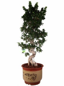 "BONSAI F. GINSENG ""S"" SHAPE 130 IN VASO TONDO 14.3"