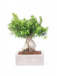 BONSAI F. GINSENG 3000 GR. IN MINOS D. 40