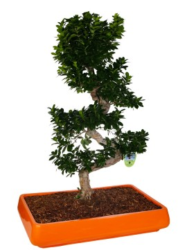"BONSAI F. GINSENG ""S"" SHAPE 130 CM. IN CANDICE D. 90 (MIX COLOR)"