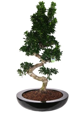 "BONSAI F. GINSENG ""S"" SHAPE 130 CM. IN CLAIRE D. 75"