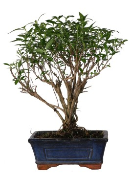 BONSAI SERISSA DIAMETRO 15