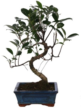 "BONSAI FICUS RETUSA ""S"" SHAPE D. 15"