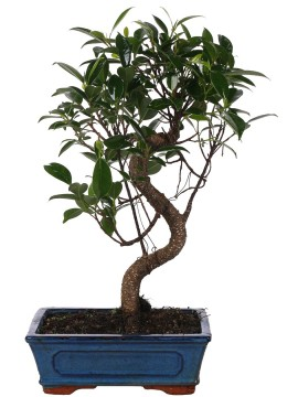 "BONSAI FICUS RETUSA ""S"" SHAPE D. 20"