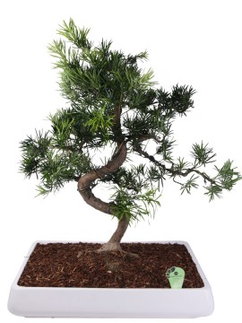 BONSAI PODOCARPUS IN CANDICE D. 90