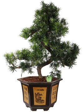 BONSAI PODOCARPUS IN SL 09.3 D. 56
