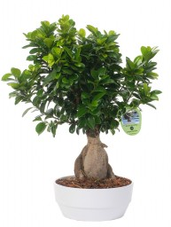 BONSAI F. GINSENG 750 GR. IN NOVARA D. 23