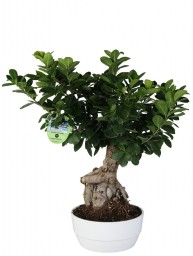 BONSAI F. GINSENG 500 GR. IN NOVARA D. 20