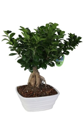 BONSAI F. GINSENG 500 GR. IN SINGAPORE D. 24