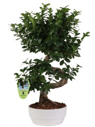 "BONSAI F. GINSENG ""S"" SHAPE 40/50 CM. IN NOVARA D. 23"