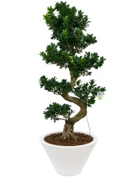 "BONSAI F. GINSENG ""S"" SHAPE 130 CM. IN CHIRON D. 60"