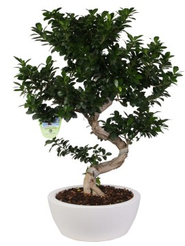 "BONSAI F. GINSENG ""S"" SHAPE 90/100 CM. IN THETIS D. 40"