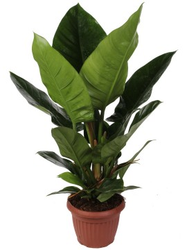 PHILODENDRON IMPERIAL GREEN D. 20 MIX