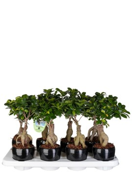BONSAI F. GINSENG 150 GR. IN VASO RIBBED D. 11