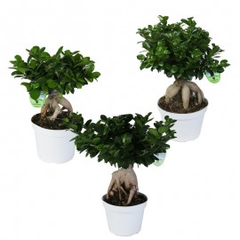 Bonsai Ficus Ginseng In Vaso Container