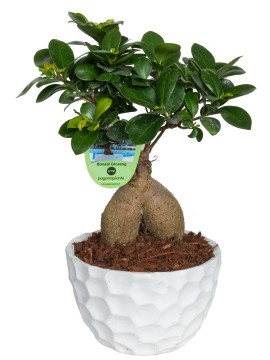 BONSAI F. GINSENG 400 GR. IN PAVIA D. 18