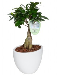 BONSAI F. GINSENG 250 GR. IN LARISA D. 18
