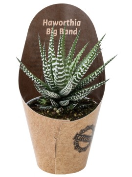 HAWORTHIA BIG BAND D. 9 CON CONO