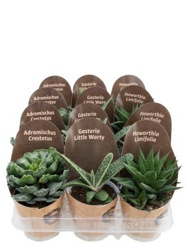 SUCCULENTE MIX FULL D. 9 CON CONO