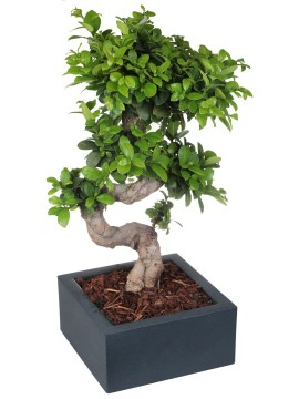 "BONSAI F. GINSENG ""S"" SHAPE 40/50 CM. IN MINOS D. 25"