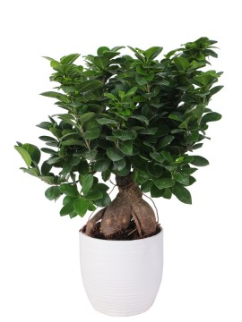 BONSAI F. GINSENG 400 GR. IN BERGAMO D. 16