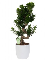 "FICUS BONSAI ""S"" SHAPE"" 70/80 POT CER D. 24"