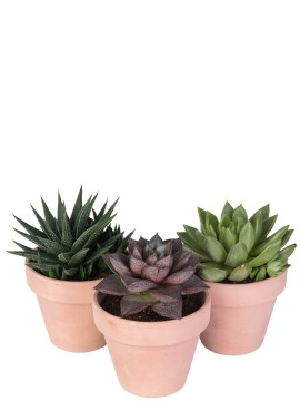 SUCCULENTE MIX IN VASO TERRACOTTA D. 11