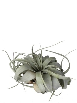 TILLANDSIA XEROGRAPHICA MEDIA