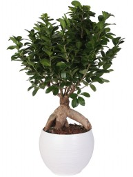 BONSAI F. GINSENG 750 GR. IN MANACOR D. 22
