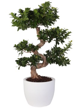 "FICUS BONSAI ""S"" SHAPE 70/80 HERA"