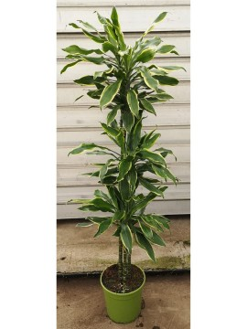 DRACAENA GOLDEN COAST T. 120 D. 27