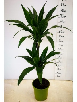 DRACAENA REGULAR T. 45