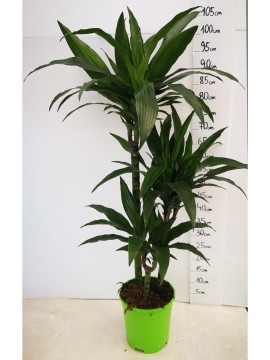 DRACAENA REGULAR T. 60 D. 21